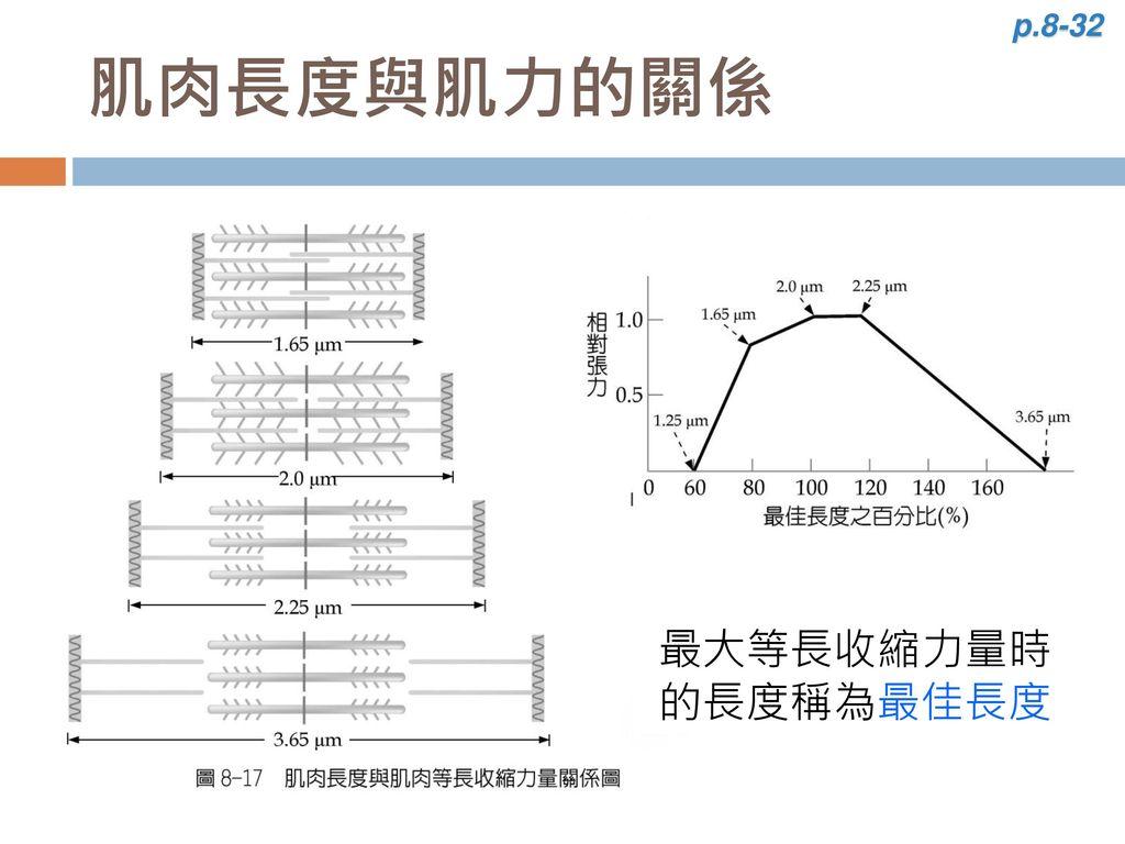 p.8-32 肌肉長度與肌力的關係 最大等長收縮力量時的長度稱為最佳長度