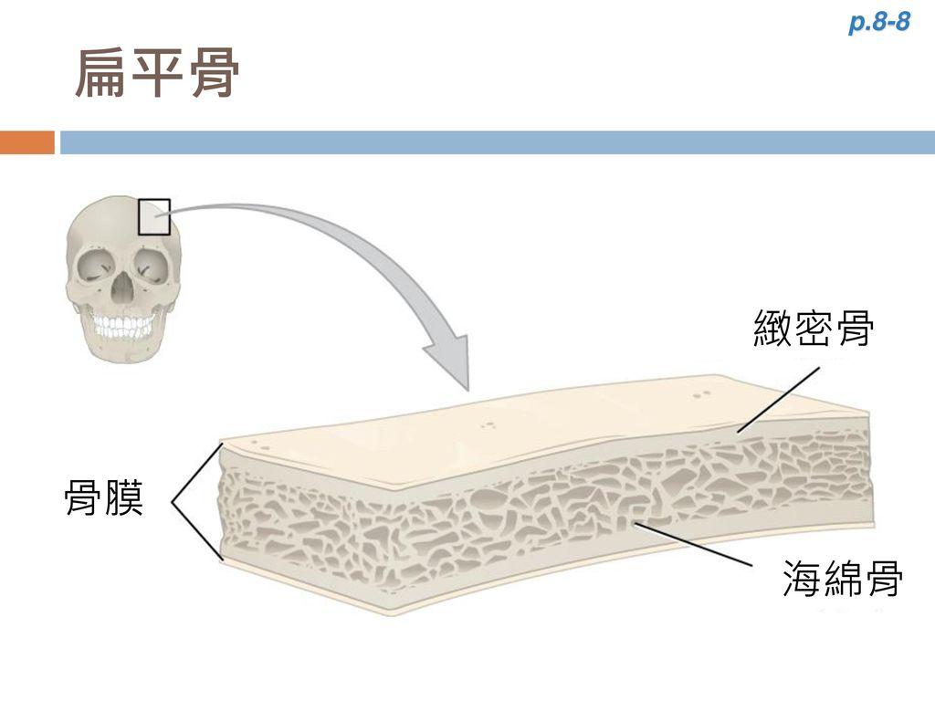p.8-8 扁平骨 緻密骨 骨膜 海綿骨