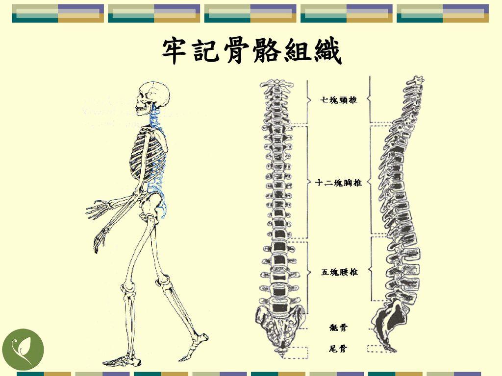 牢記骨骼組織 瞭解相對位置即可 例:頭往前傾時,脖子下方突出點即為第七頸椎