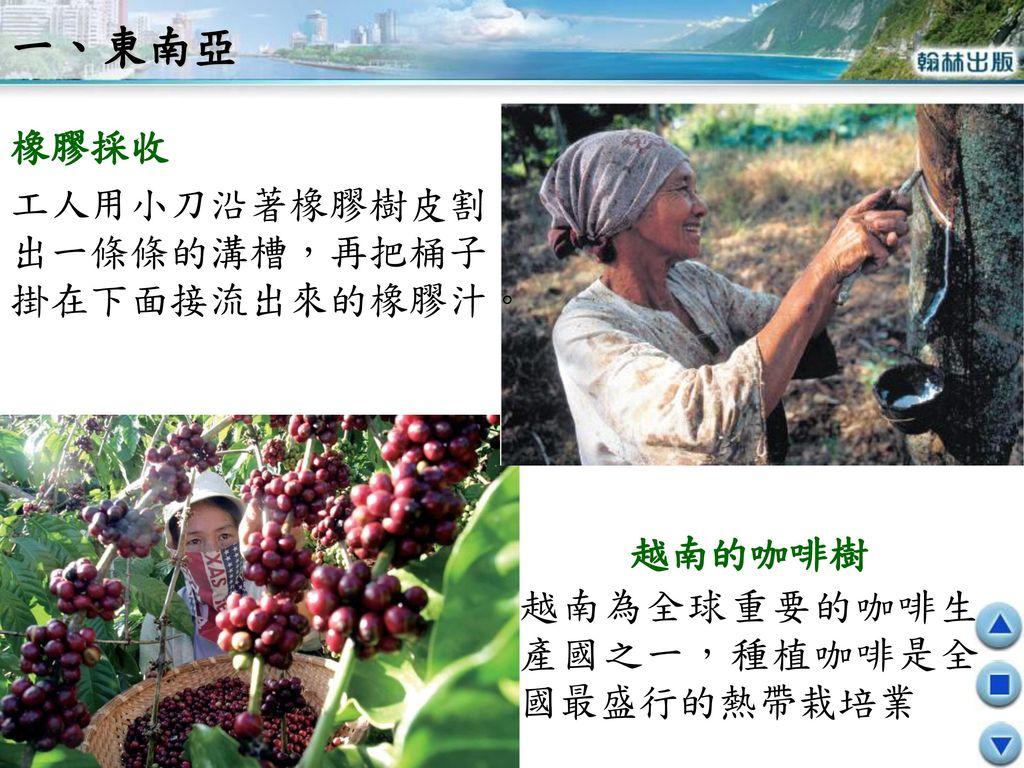 一、東南亞 橡膠採收 工人用小刀沿著橡膠樹皮割出一條條的溝槽,再把桶子掛在下面接流出來的橡膠汁。 越南的咖啡樹