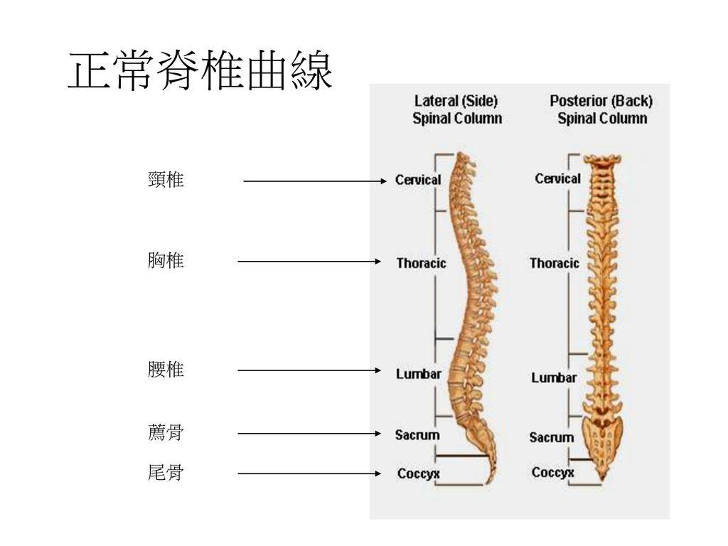 正常脊椎曲線 頸椎 胸椎 腰椎 薦骨 尾骨