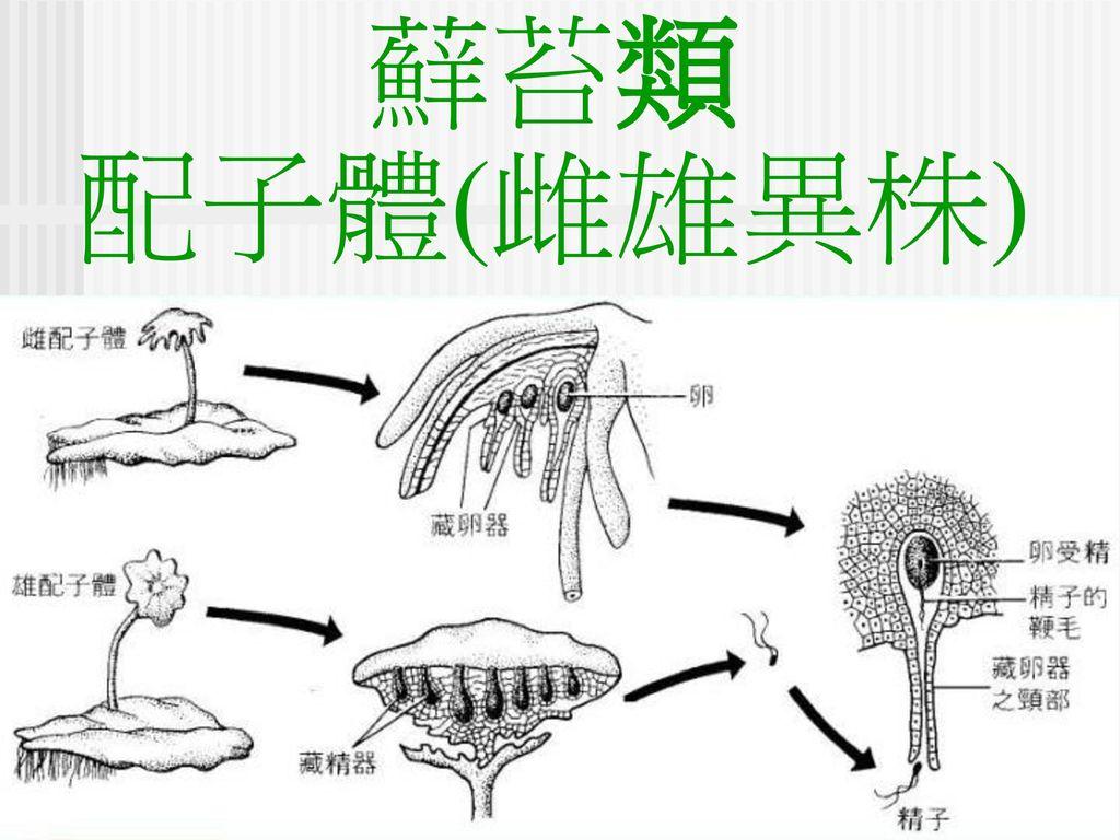 蘚苔類 配子體(雌雄異株)