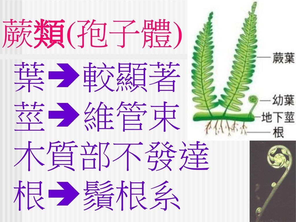 蕨類(孢子體) 葉較顯著 莖維管束 木質部不發達 根鬚根系