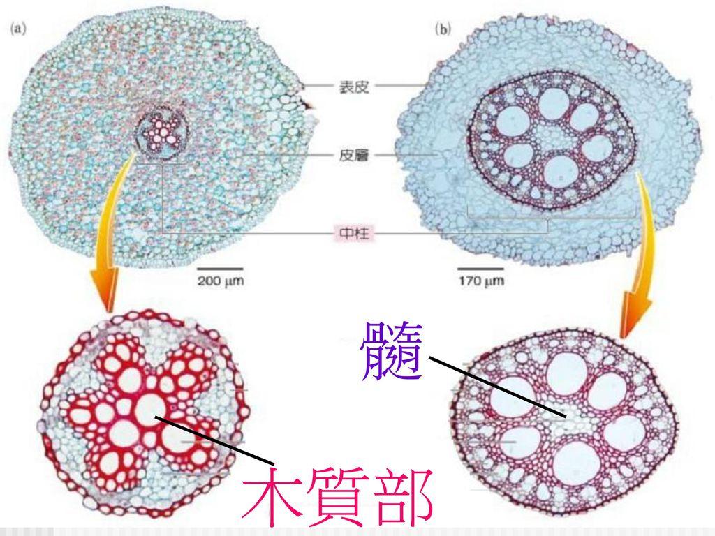 髓 木質部