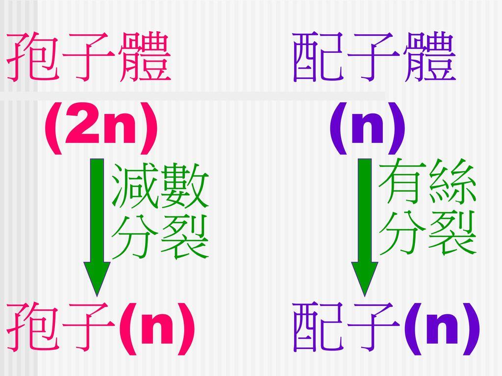 孢子體 配子體 (2n) (n) 孢子(n) 配子(n) 有絲 分裂 減數 分裂