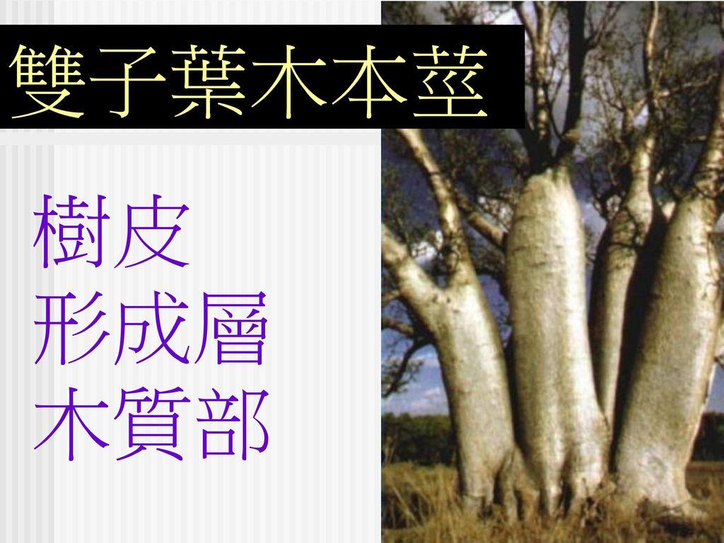 雙子葉木本莖 樹皮 形成層 木質部