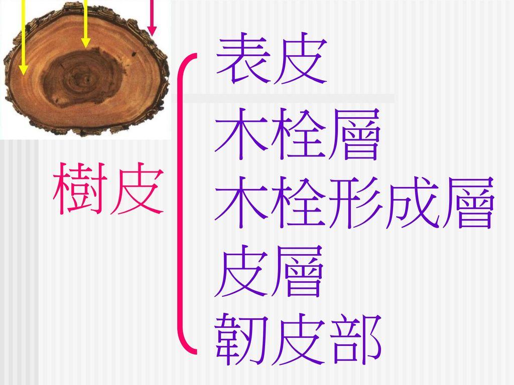 表皮 木栓層 木栓形成層 皮層 韌皮部 樹皮