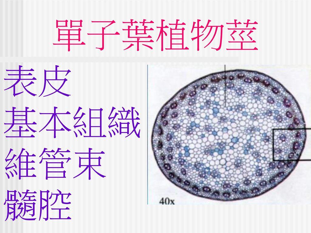 單子葉植物莖 表皮 基本組織 維管束 髓腔