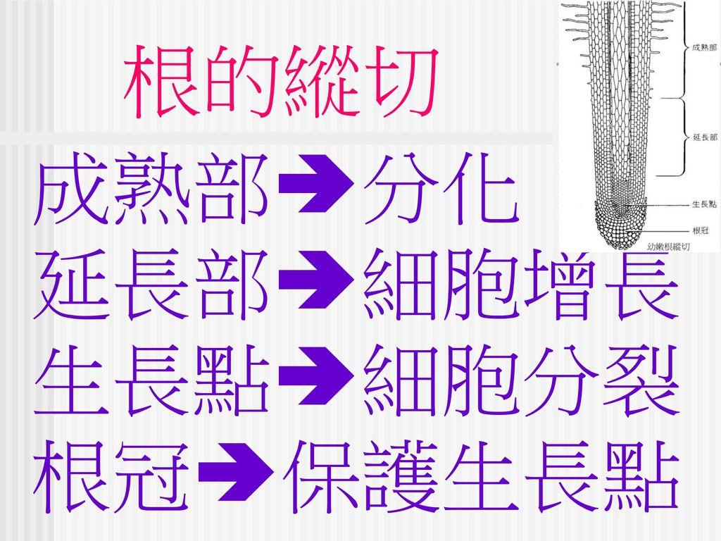 根的縱切 成熟部分化 延長部細胞增長 生長點細胞分裂 根冠保護生長點