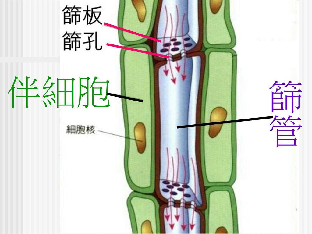 伴細胞 篩管