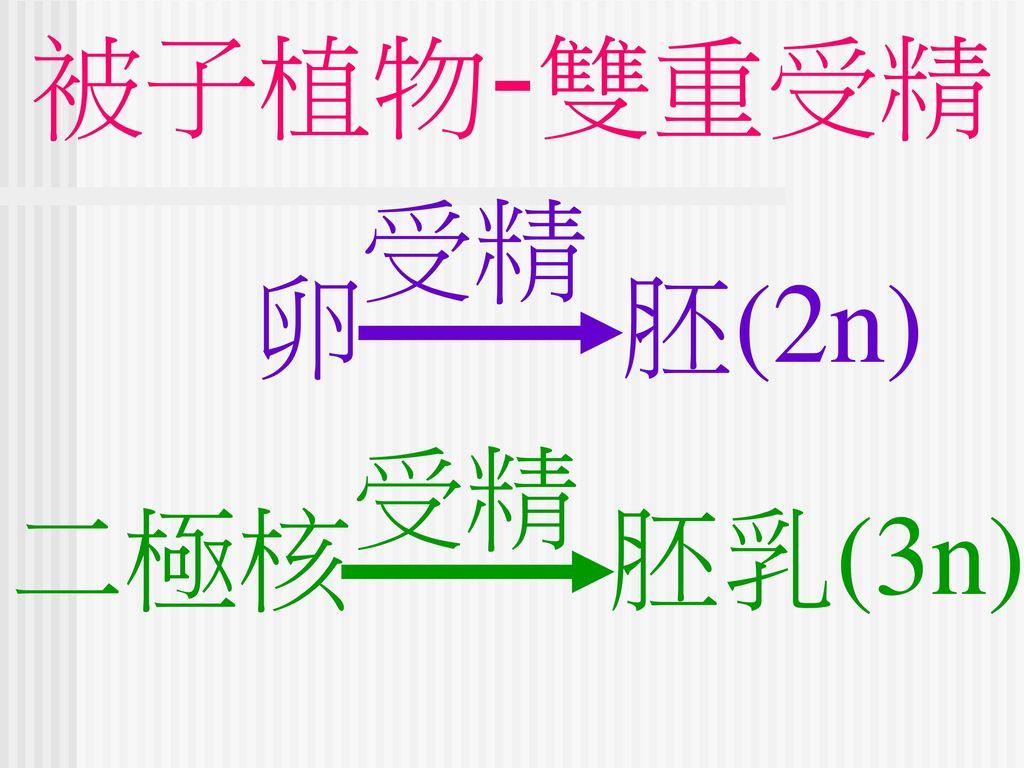 被子植物-雙重受精 受精 卵 胚(2n) 二極核 胚乳(3n) 受精
