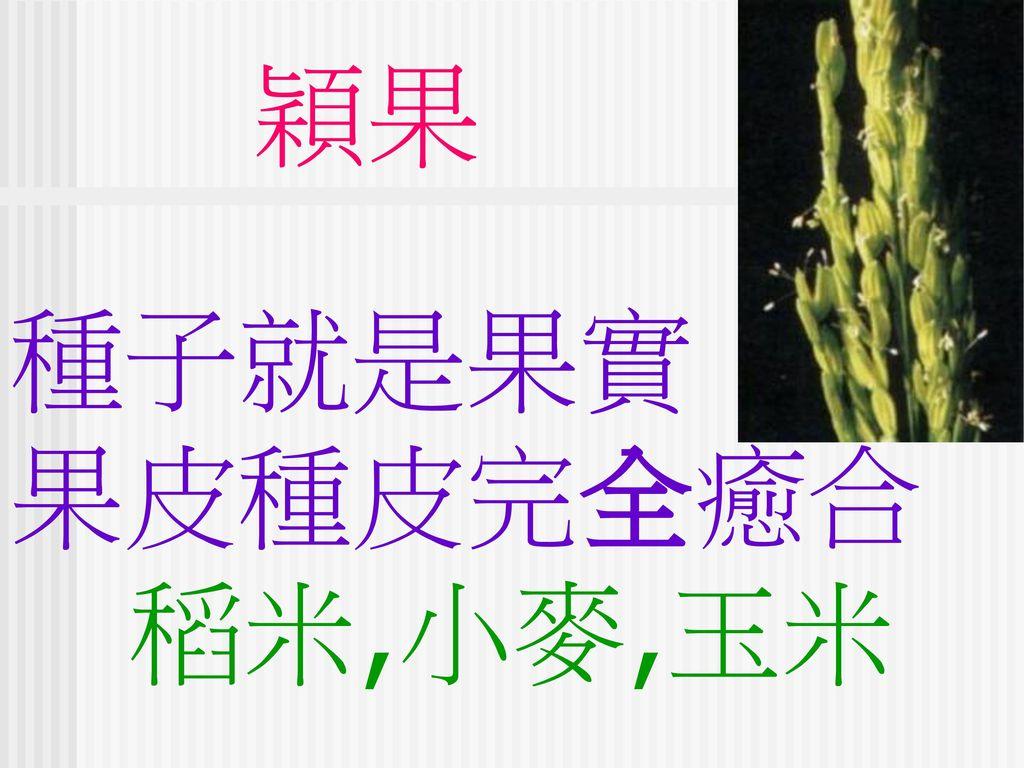 穎果 種子就是果實 果皮種皮完全癒合 稻米,小麥,玉米