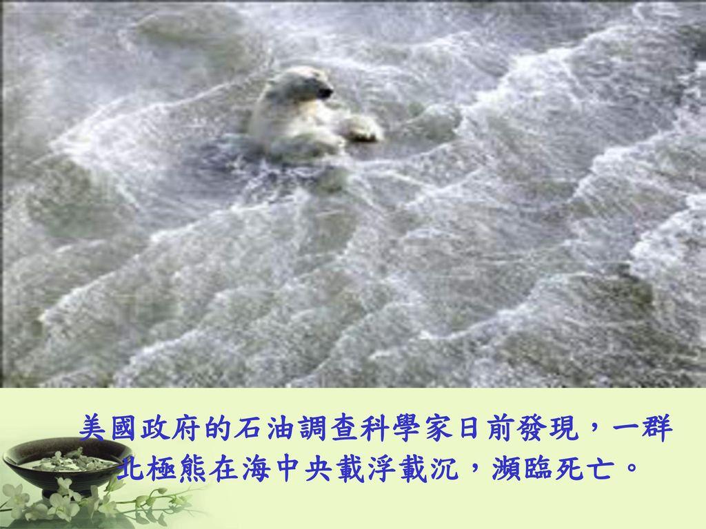 美國政府的石油調查科學家日前發現,一群 北極熊在海中央載浮載沉,瀕臨死亡。