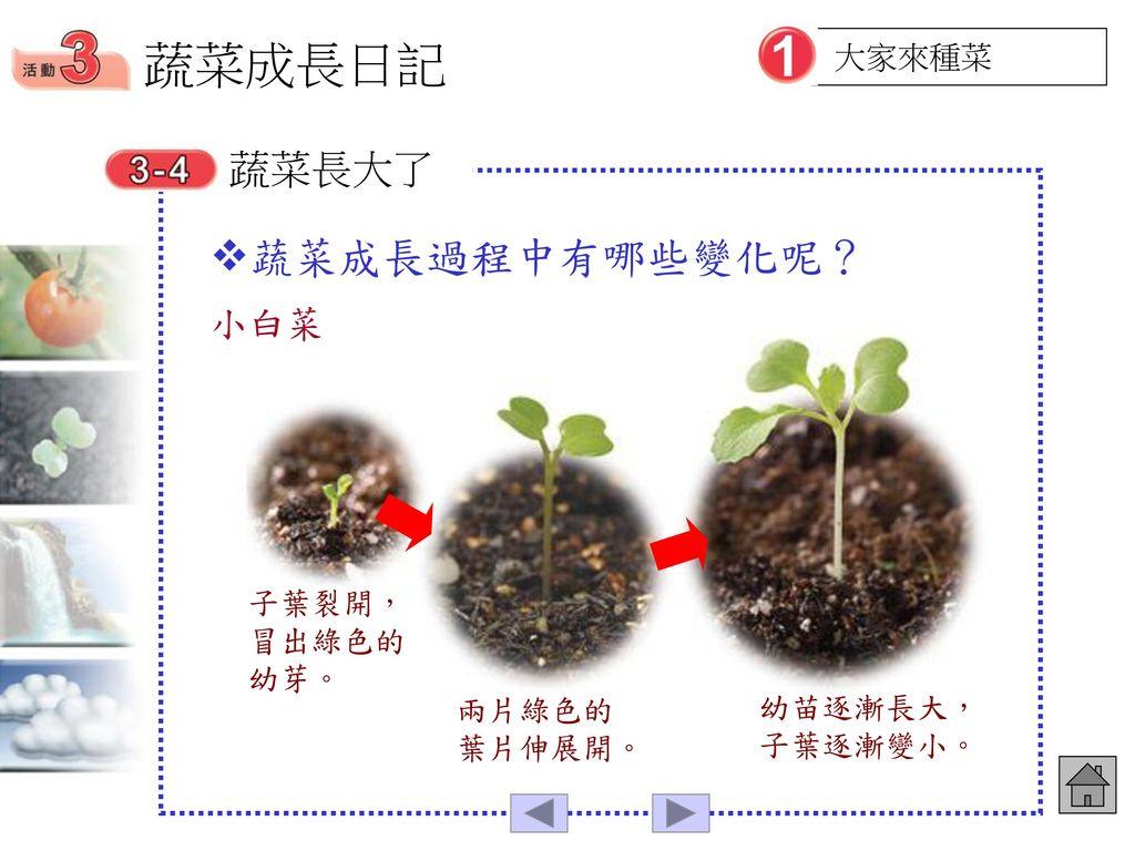 蔬菜成長日記 蔬菜成長過程中有哪些變化呢? 蔬菜長大了 小白菜 大家來種菜 子葉裂開,冒出綠色的幼芽。 兩片綠色的葉片伸展開。