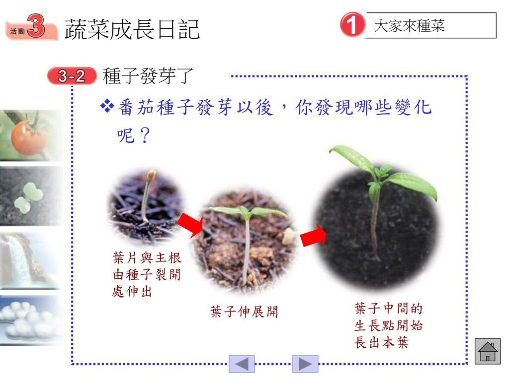 蔬菜成長日記 番茄種子發芽以後,你發現哪些變化呢? 種子發芽了 大家來種菜 葉片與主根由種子裂開處伸出 葉子中間的生長點開始長出本葉