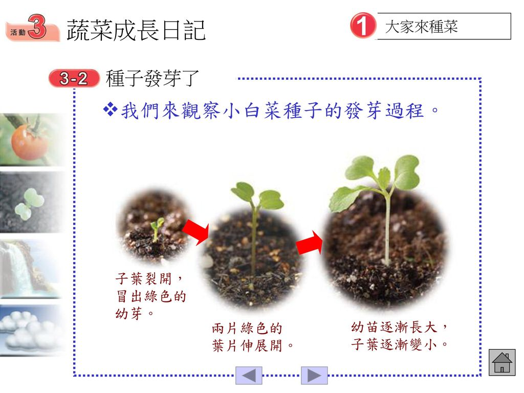 蔬菜成長日記 我們來觀察小白菜種子的發芽過程。 種子發芽了 大家來種菜 子葉裂開,冒出綠色的幼芽。 兩片綠色的葉片伸展開。