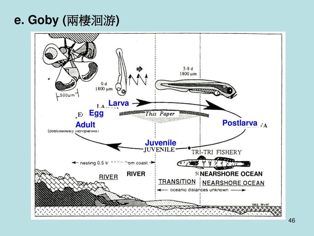 e. Goby (兩棲洄游) Larva Egg Postlarva Adult Juvenile RIVER