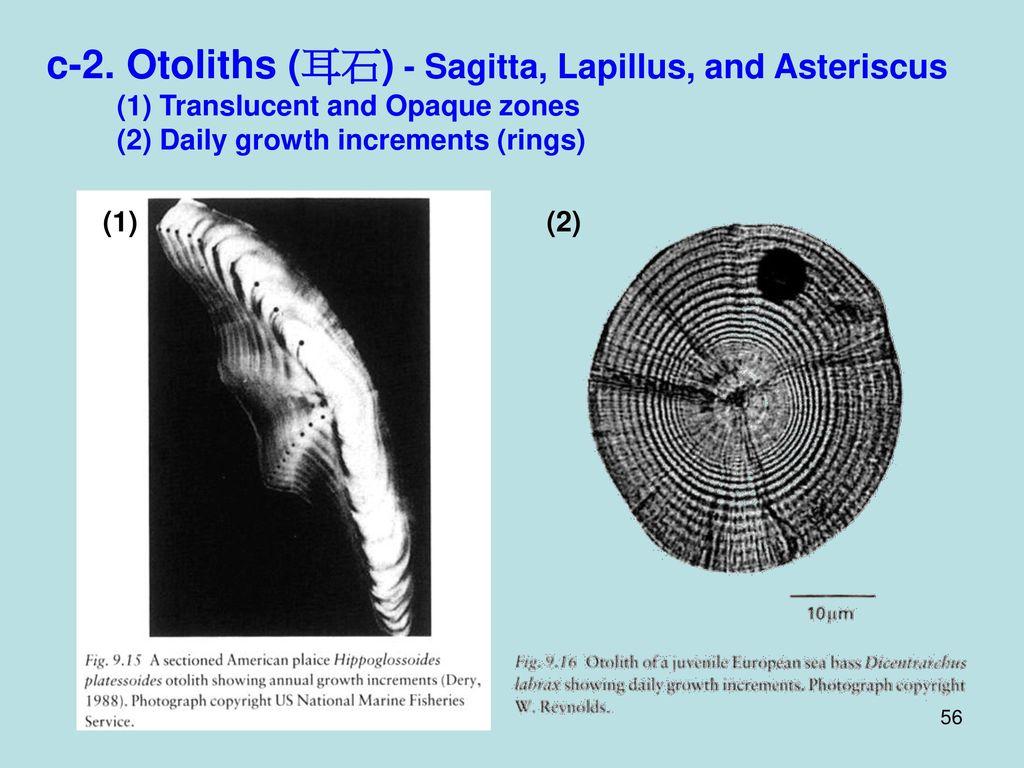 c-2. Otoliths (耳石) - Sagitta, Lapillus, and Asteriscus