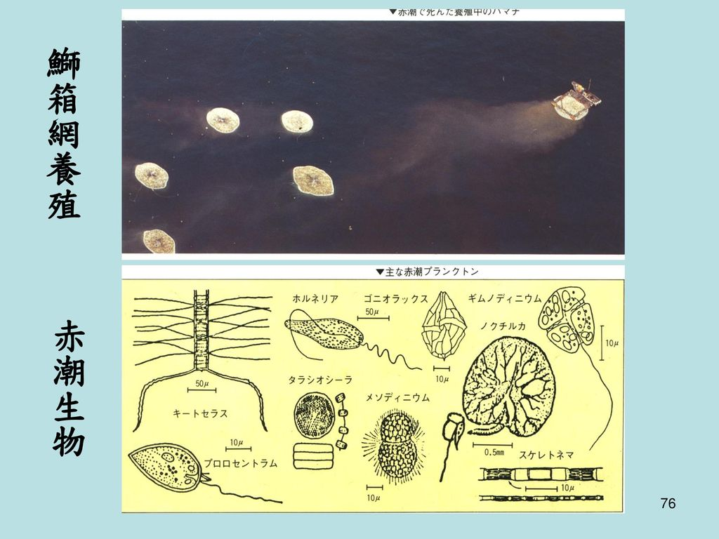 鰤箱網養殖 赤潮生物