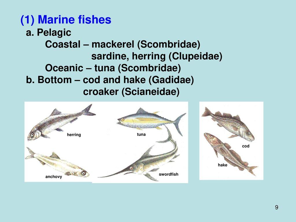 (1) Marine fishes a. Pelagic Coastal – mackerel (Scombridae)