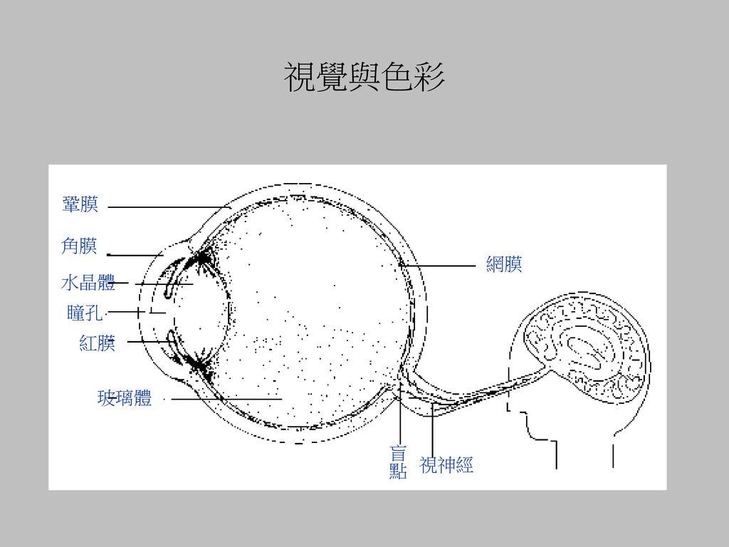 視覺與色彩 鞏膜 角膜 網膜 水晶體 瞳孔 紅膜 玻璃體 盲點 視神經