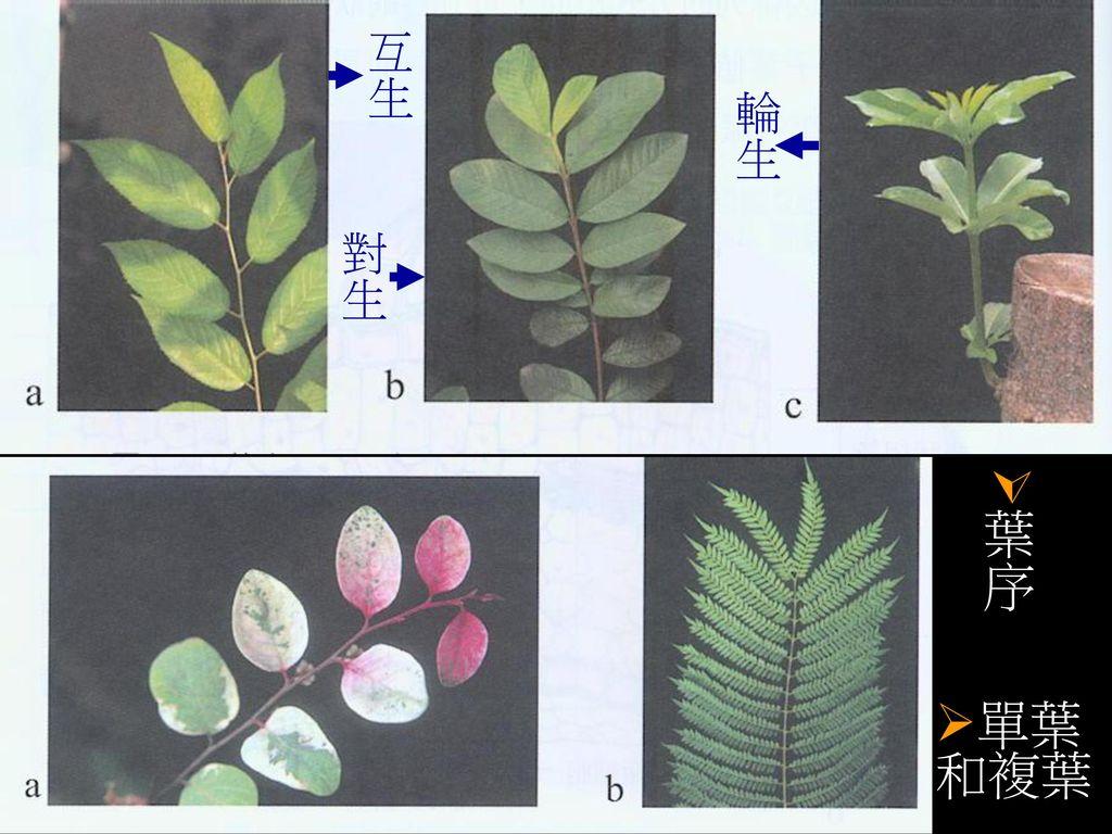 互生 輪生 對生 葉序 單葉和複葉