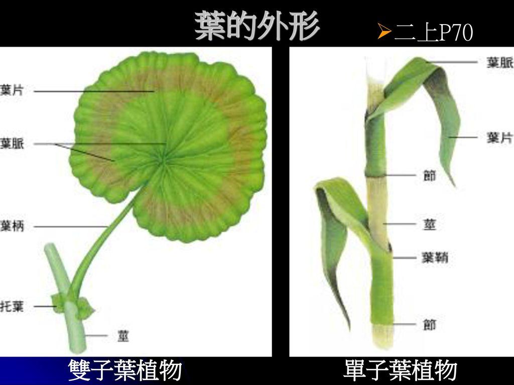 葉的外形 二上P70 雙子葉植物 單子葉植物