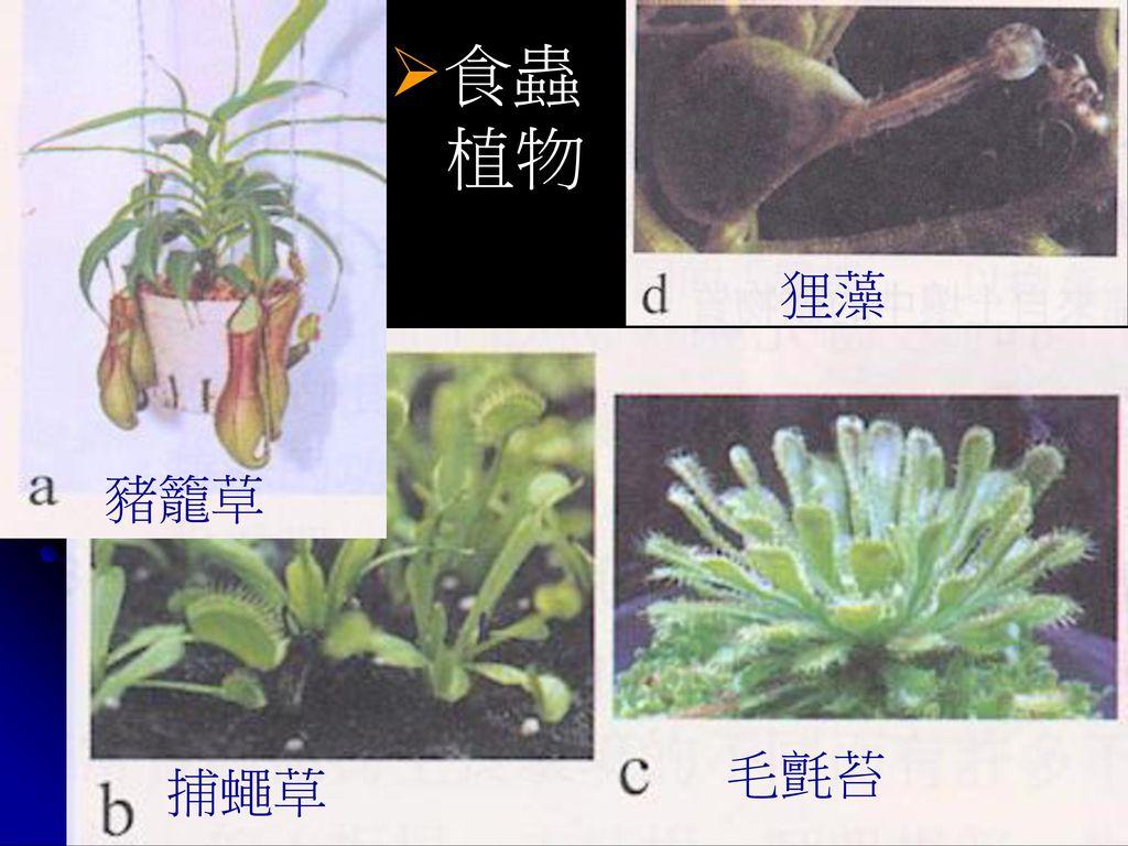 食蟲 植物 狸藻 豬籠草 毛氈苔 捕蠅草