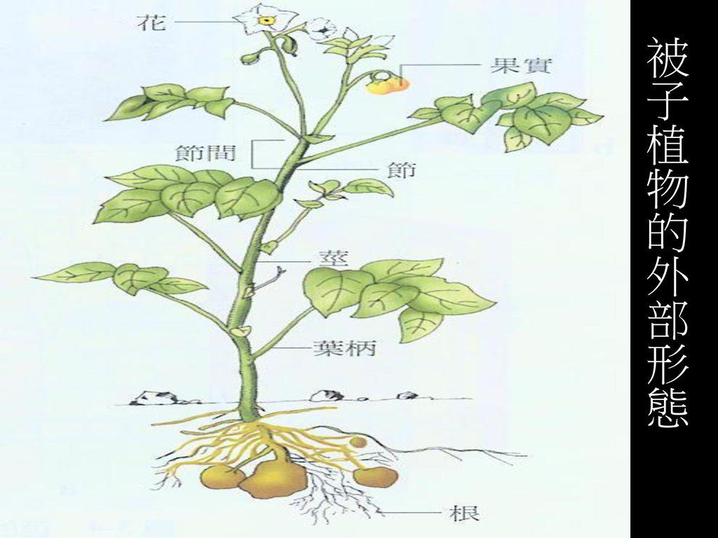 被子植物的外部形態