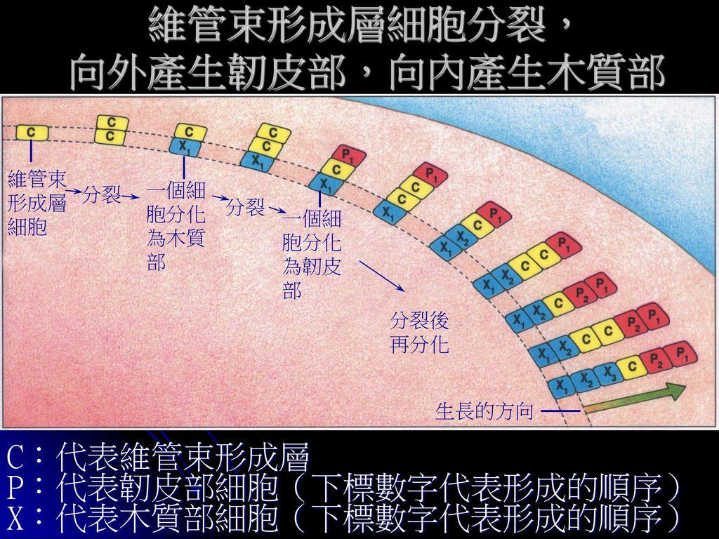 維管束形成層細胞分裂, 向外產生韌皮部,向內產生木質部