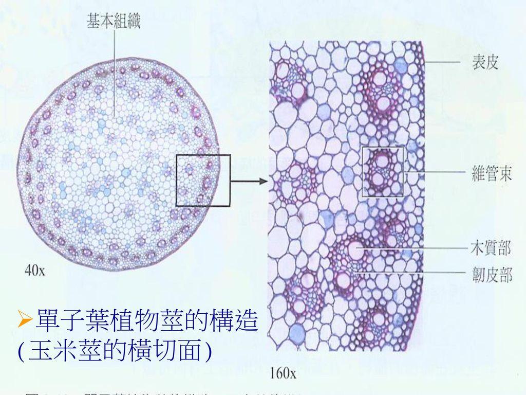 單子葉植物莖的構造(玉米莖的橫切面)