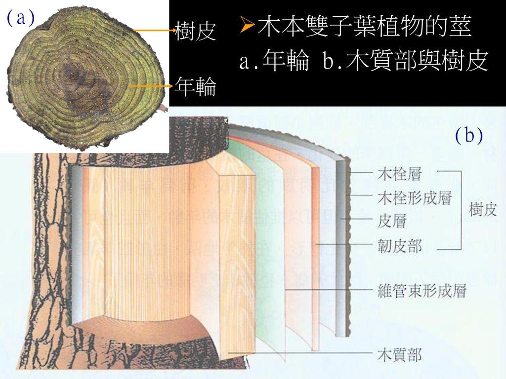 (a) 木本雙子葉植物的莖 a.年輪 b.木質部與樹皮 樹皮 年輪 (b)