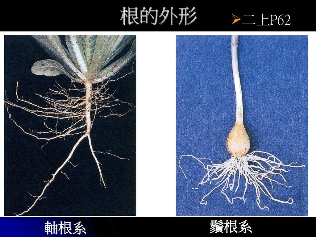 根的外形 二上P62 軸根系 鬚根系