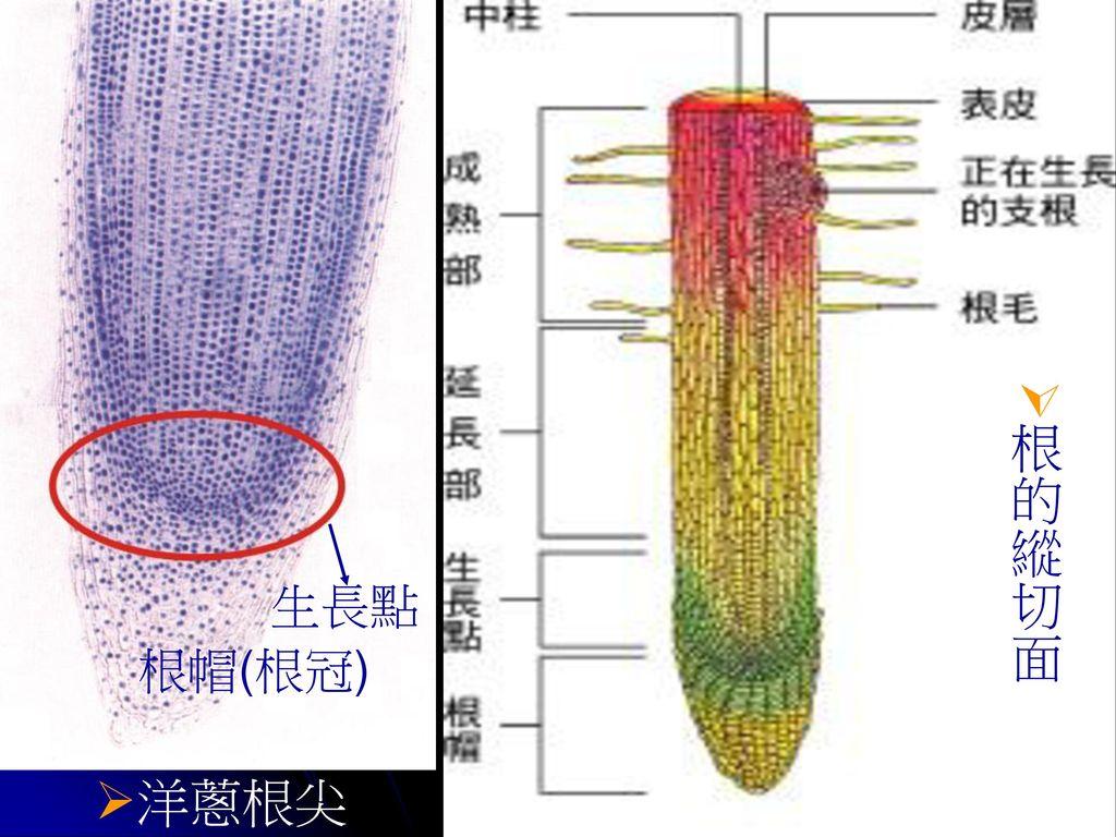 根的縱切面 生長點 根帽(根冠) 洋蔥根尖