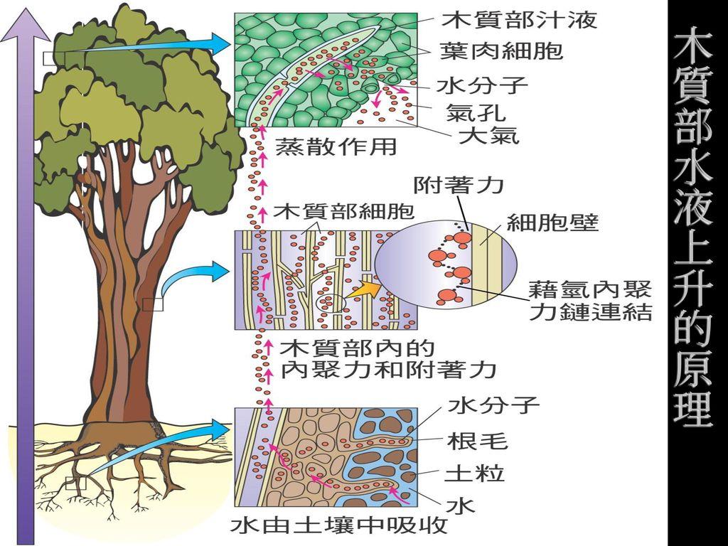 木質部水液上升的原理