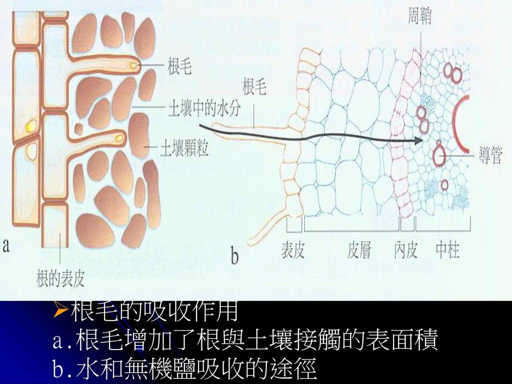 根毛的吸收作用 a.根毛增加了根與土壤接觸的表面積 b.水和無機鹽吸收的途徑