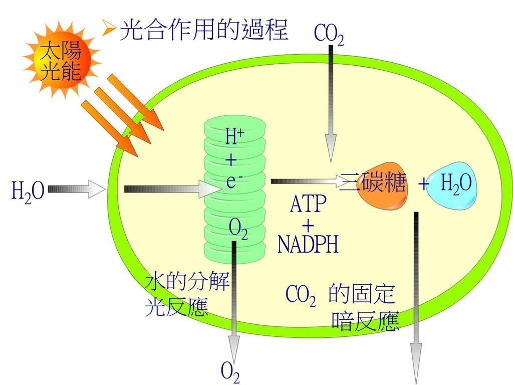 光合作用的過程 H2O ATP + NADPH CO2 H+ + e- 三碳糖 + H2O O2 CO2 的固定 暗反應 O2 太陽光能