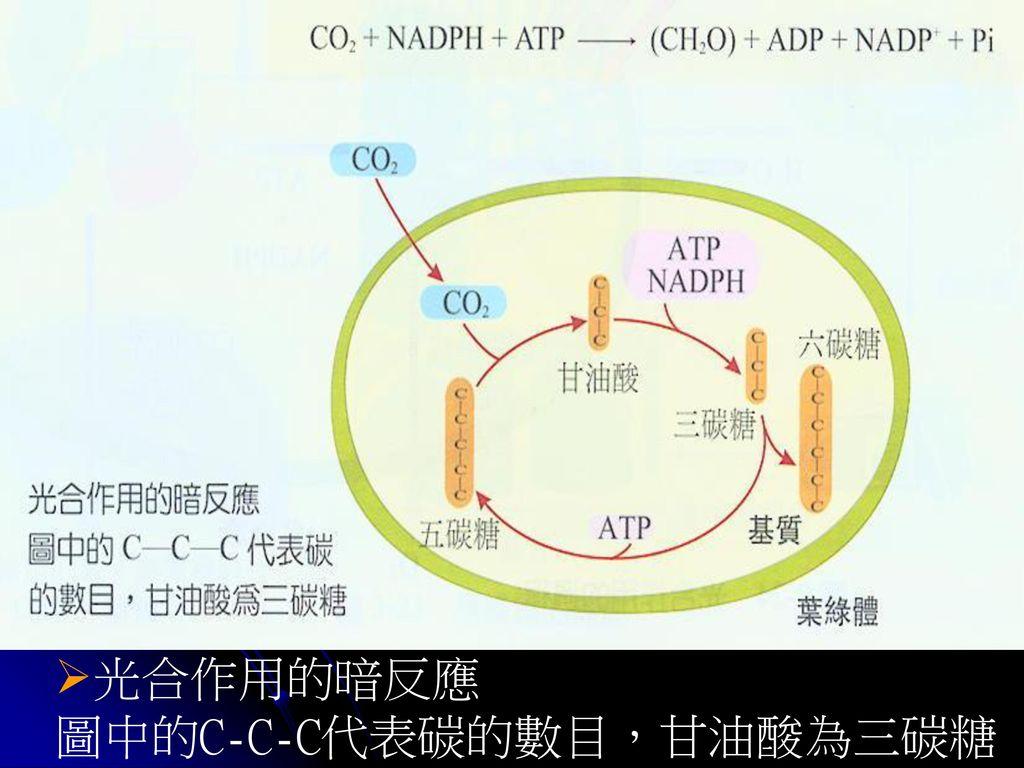 光合作用的暗反應 圖中的C-C-C代表碳的數目,甘油酸為三碳糖