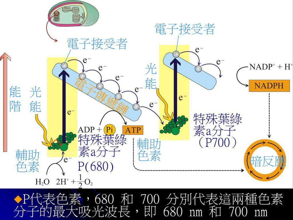 P代表色素,680 和 700 分別代表這兩種色素分子的最大吸光波長,即 680 nm 和 700 nm