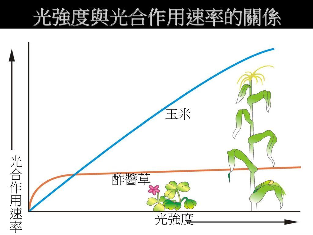 光強度與光合作用速率的關係 玉米 光合作用速率 酢醬草 光強度