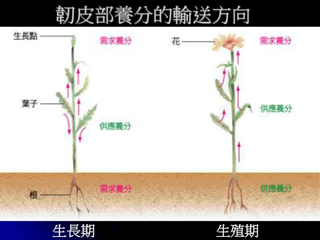 韌皮部養分的輸送方向 生長期 生殖期