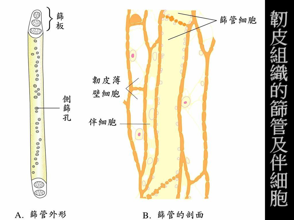 韌皮組織的篩管及伴細胞