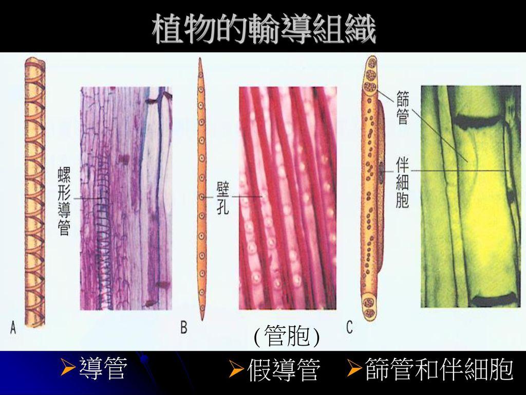 植物的輸導組織 (管胞) 導管 假導管 篩管和伴細胞