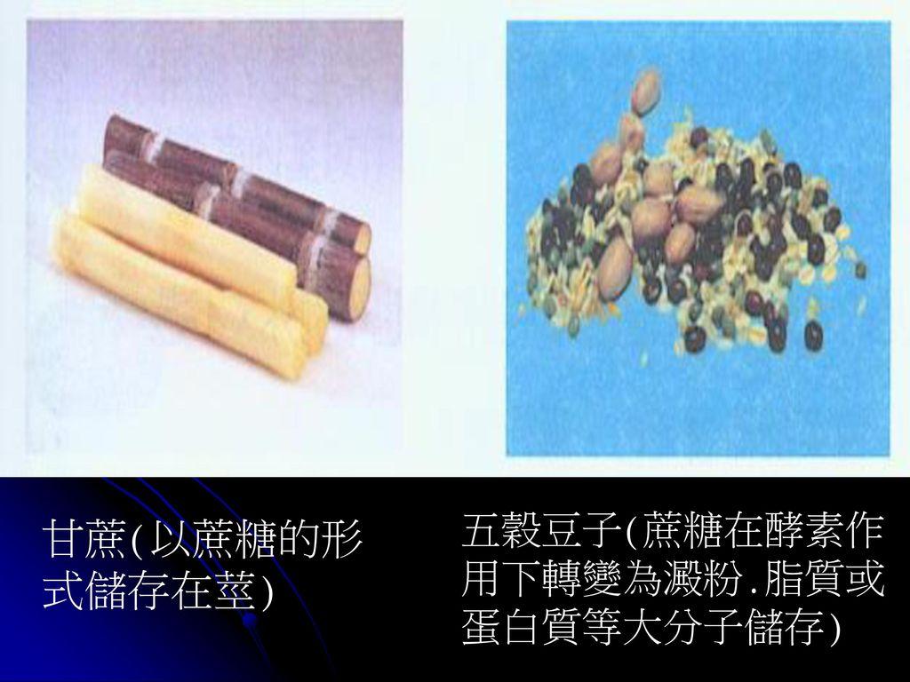五穀豆子(蔗糖在酵素作用下轉變為澱粉.脂質或蛋白質等大分子儲存)