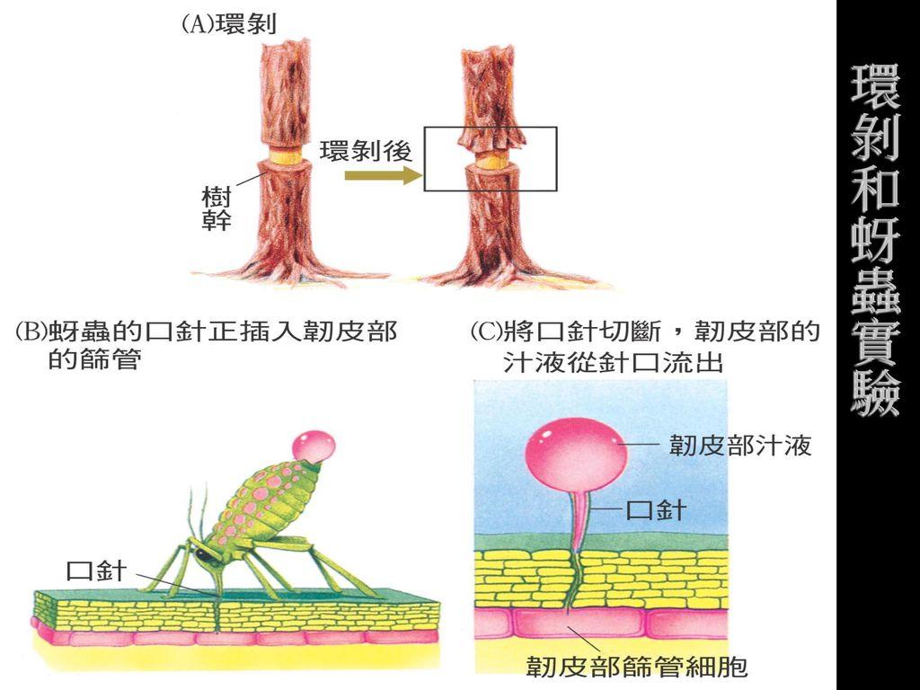 環剝和蚜蟲實驗
