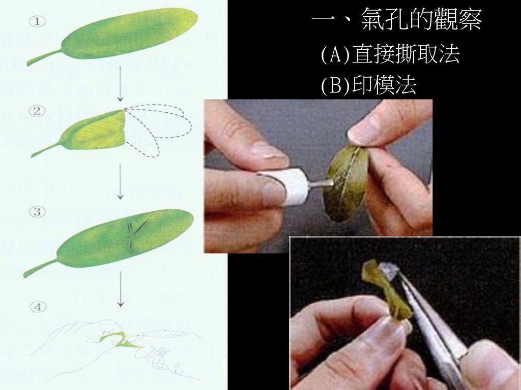 一、氣孔的觀察 (A)直接撕取法 (B)印模法