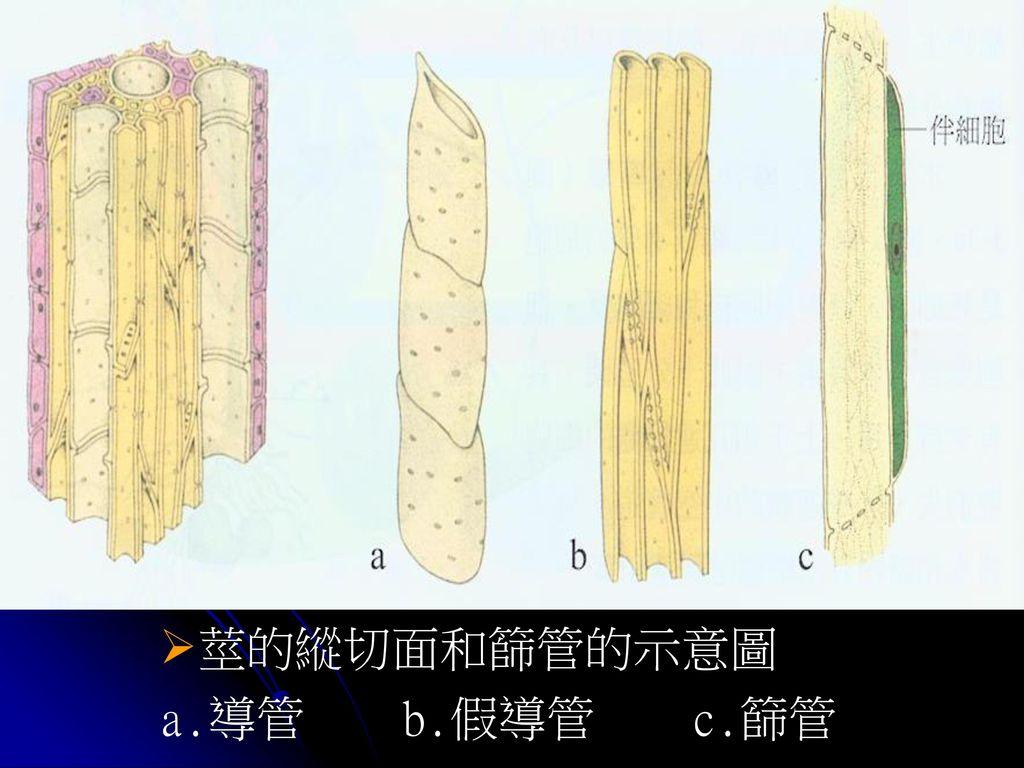 莖的縱切面和篩管的示意圖 a.導管 b.假導管 c.篩管
