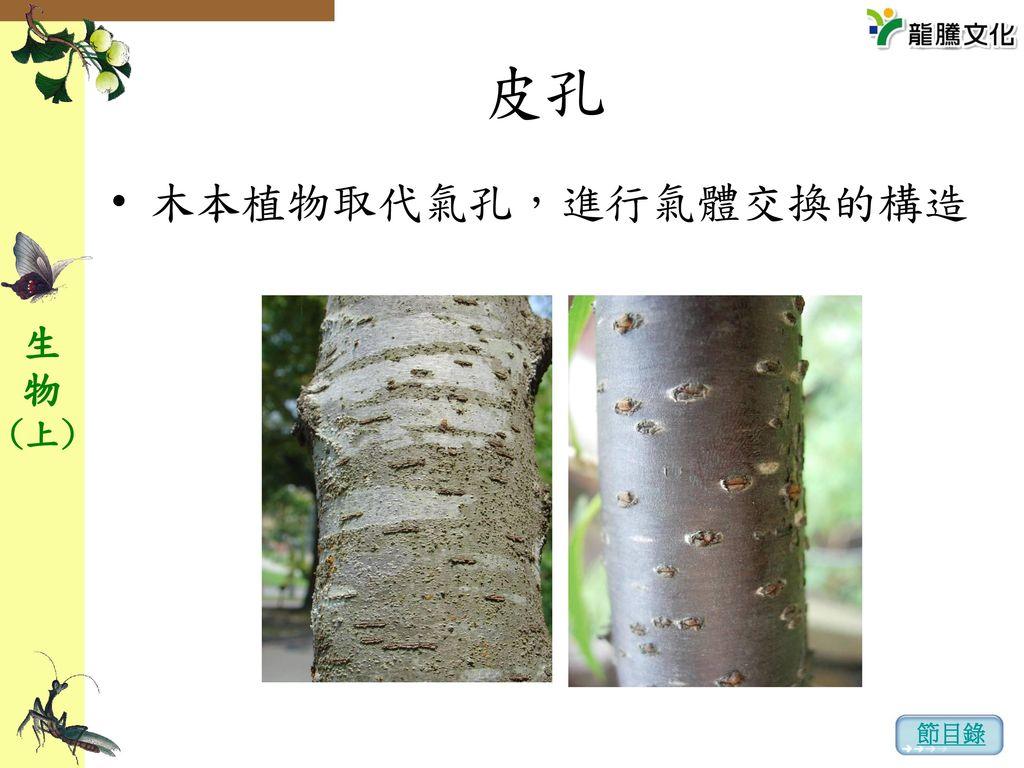 皮孔 木本植物取代氣孔,進行氣體交換的構造