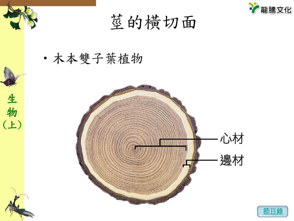 莖的橫切面 木本雙子葉植物