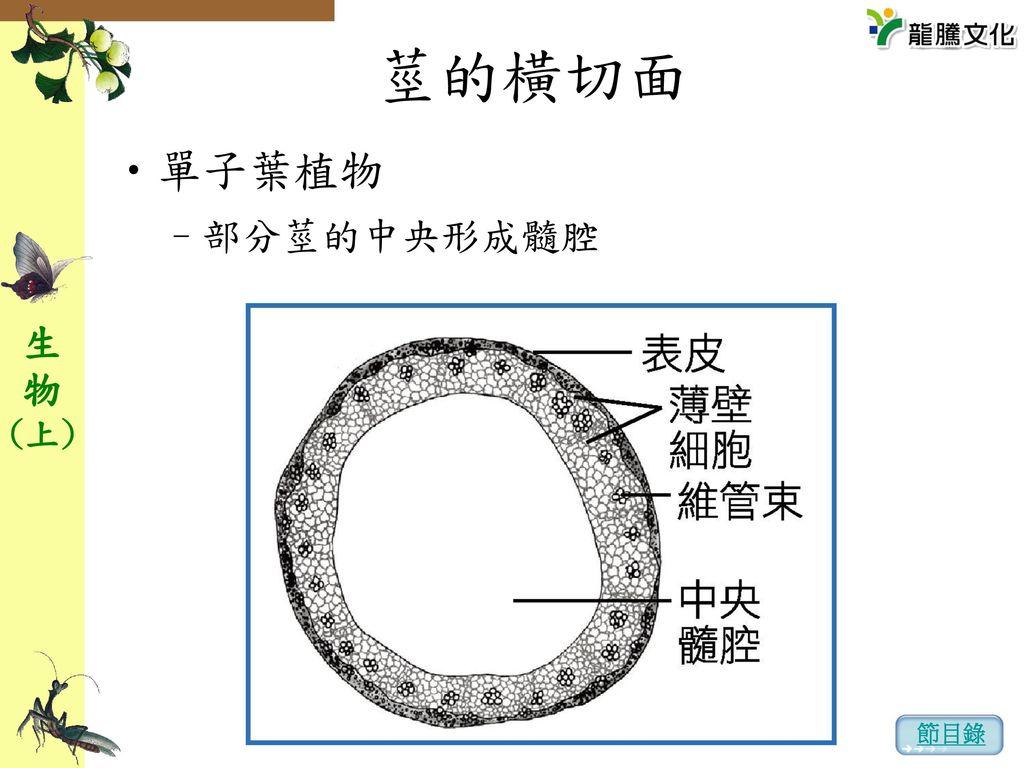 莖的橫切面 單子葉植物 部分莖的中央形成髓腔